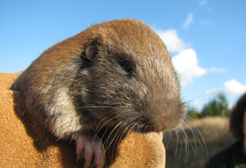 Mazama-pocket-gopher