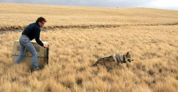 Mexican gray wolf being released into the wilds of the southwest. Photo courtesy of USFWS.