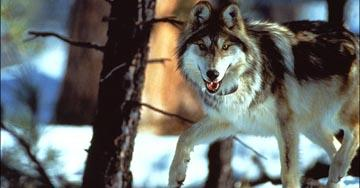Mexican gray wolf prior to release in the wilds of the southwest. Photo courtesy of USFWS.